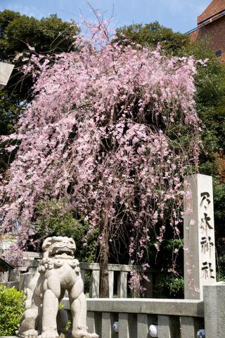 20090329_sakura1