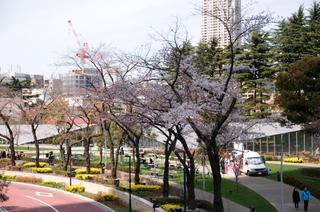 20090329_sakura2